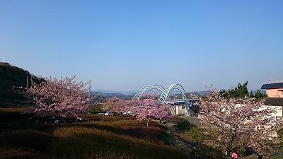 西海橋、河津桜
