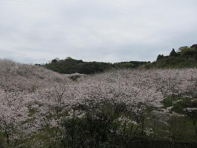 京泊_桜の里_20160403_027