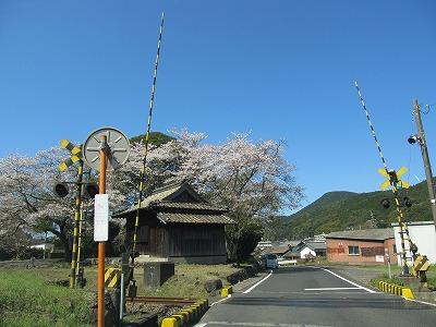 yoshii-sakura_002.jpg